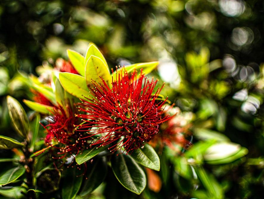 arbre de noel de nouvelle-zélande à Golden Bay
