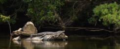 Animaux d'australie dangereux : le crocodile